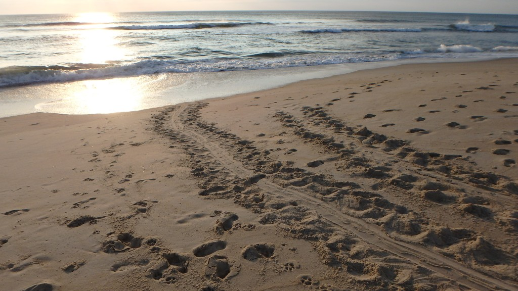 Loggerhead tracks to and from the ocean