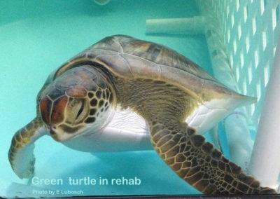 EL green turtle in rehab