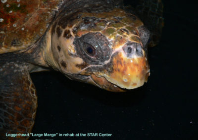 JO adult loggerhead in rehab Large Marge
