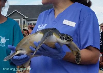 Peg Green sea turtle release