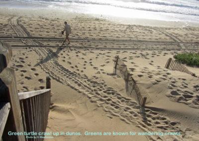 SW Green Sea Turtle crawl