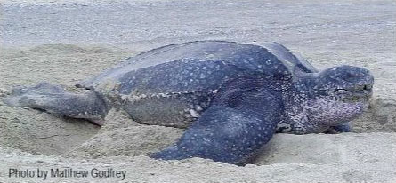 leatherback-indentify