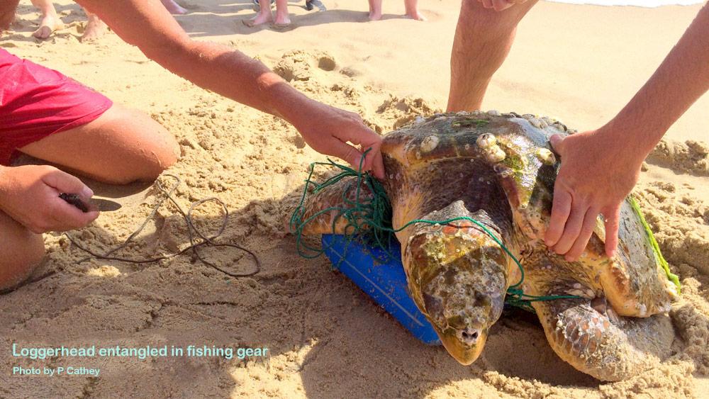 Loggerhead entangled in fishing gear