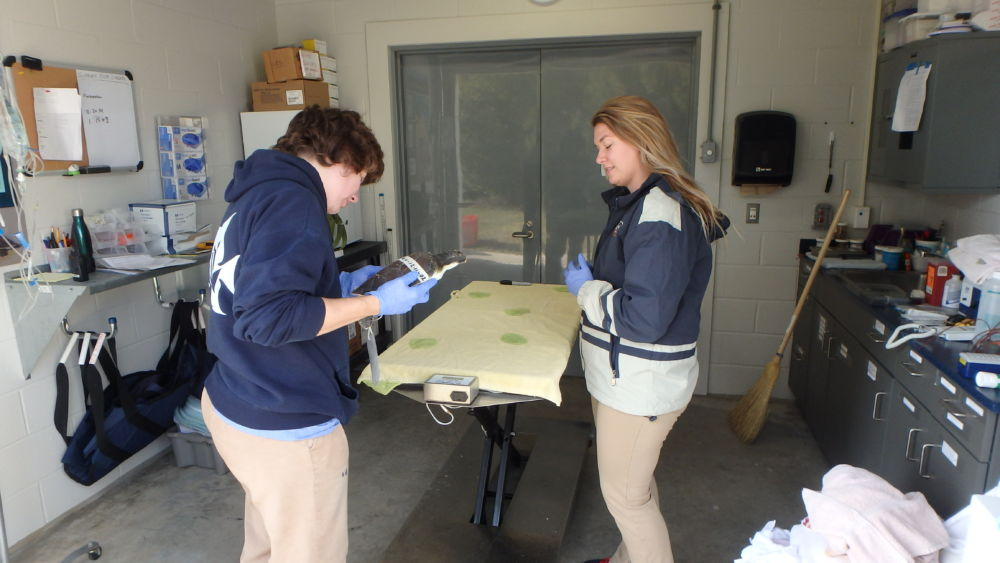 Rosemary and Hanna making cold stun sea turtle assessment.