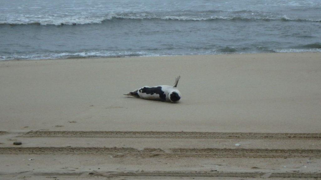 A Harp seal giving all high fives for an enjoyable beach experience