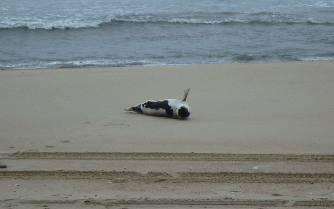 A Harp Seal makes a visit to the Outer Banks