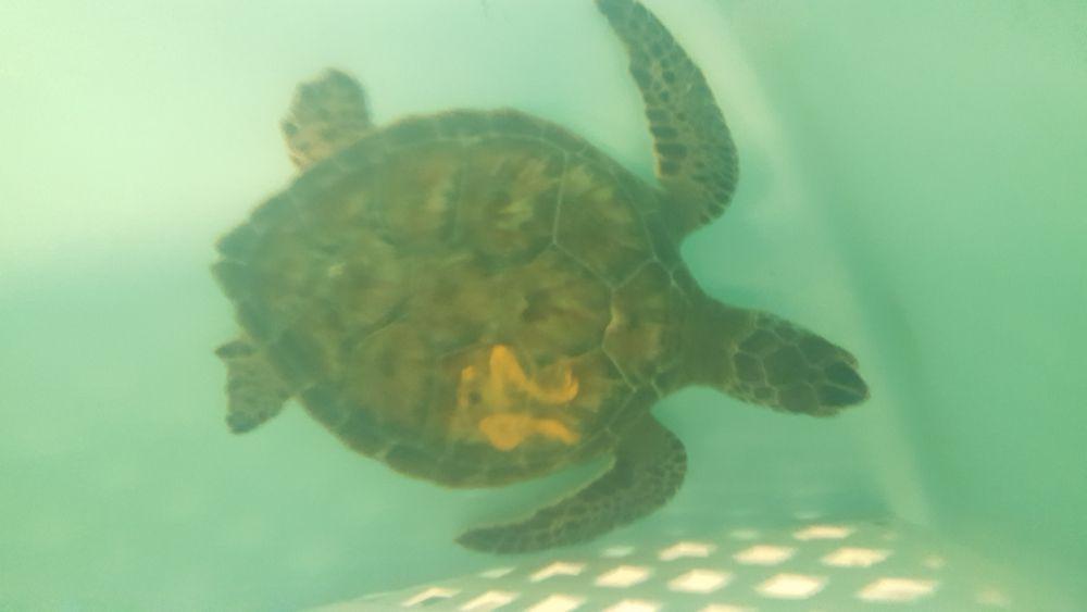 turtle 26