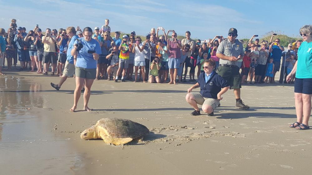 Bicklebaum heads to ocean during release at Coquina Beach OBX