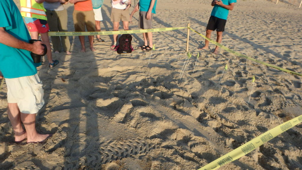 The Loggerhead sea turtle nest site.