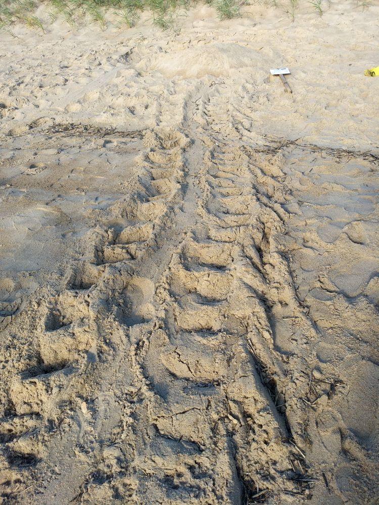 Loggerhead Sea Turtle Crawl!